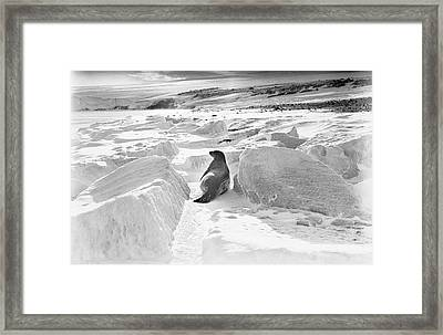 Weddell Seal In Antarctica Framed Print by Scott Polar Research Institute