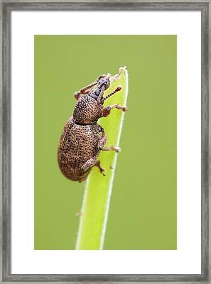 Weevil Framed Print by Heath Mcdonald