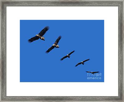Wege-tail Eagle Montage Framed Print by Tim Hester