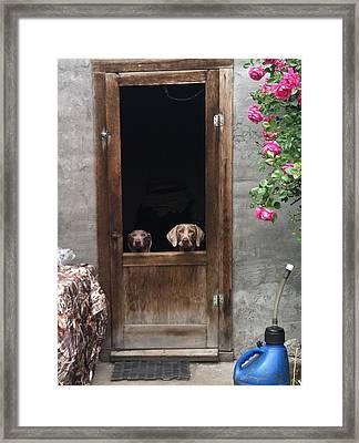 Weimeraners Waiting... Framed Print by Rebecca Martinez