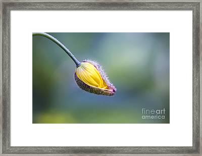 Welsh Poppy Bud Opening Framed Print by Tim Gainey