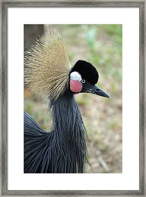 West African Crowned Crane Framed Print by Richard Bryce and Family