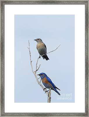 Western Bluebird Pair Framed Print by Mike  Dawson