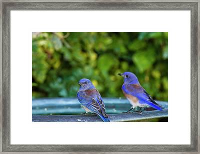 Western Bluebird (sialia Mexicana Framed Print by Michael Qualls