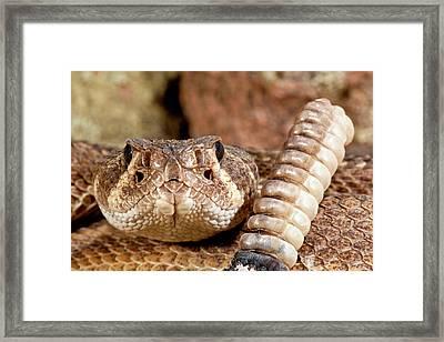 Western Diamondback Rattlesnake Framed Print by David Northcott