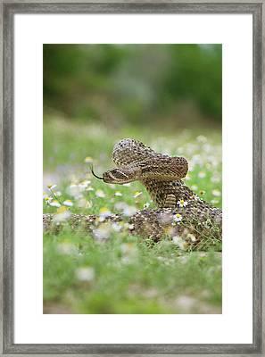 Western Diamondback Rattlesnake Framed Print by Larry Ditto