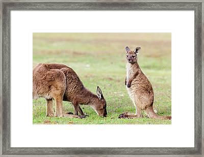 Western Grey Kangaroo (macropus Framed Print by Martin Zwick