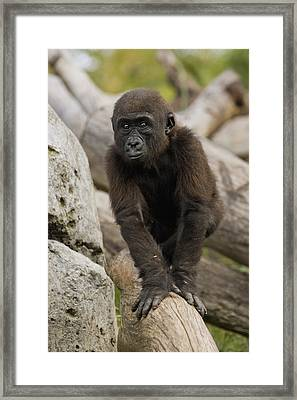 Western Lowland Gorilla Baby Framed Print by San Diego Zoo