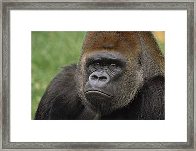 Western Lowland Gorilla Silverback Framed Print by Gerry Ellis