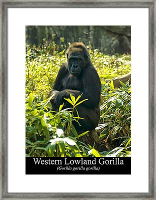 Western Lowland Gorilla Sitting On A Tree Stump Framed Print by Chris Flees