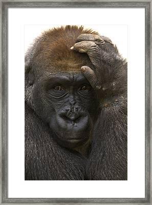 Western Lowland Gorilla With Hand Framed Print by San Diego Zoo
