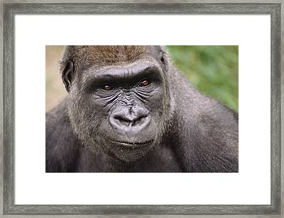 Western Lowland Gorilla Young Male Framed Print by Gerry Ellis