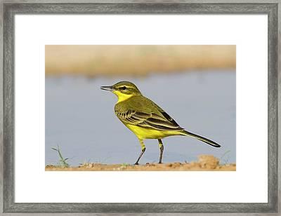Western Yellow Wagtail (motacilla Flava) Framed Print by Photostock-israel