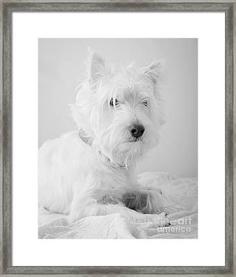 Westie Dog In Black And White Framed Print by Edward Fielding