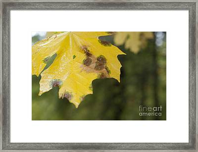 Wet Fall Leaf Framed Print by Graham Foulkes