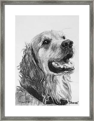 Wet Smiling Golden Retriever Shane Framed Print by Kate Sumners