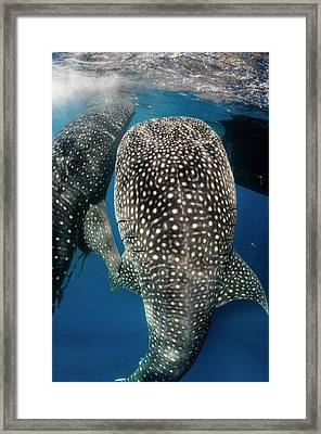 Whale Shark Feeding At Bagan Framed Print by Pete Oxford