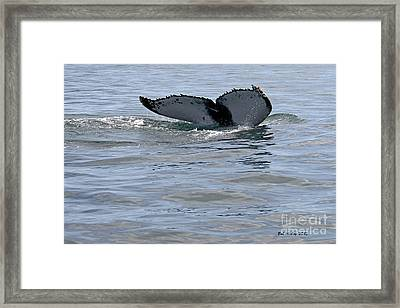 Whale Tail Framed Print by Bob Hislop