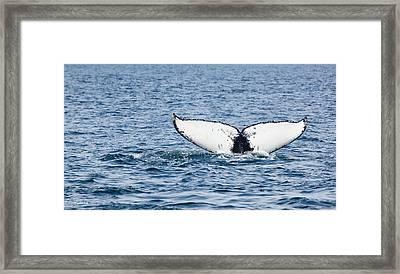Whale Tail Stellwagen Bank Framed Print by Michelle Wiarda