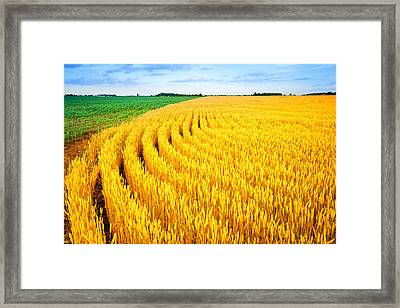 Wheat And Corn Framed Print by Alexey Stiop