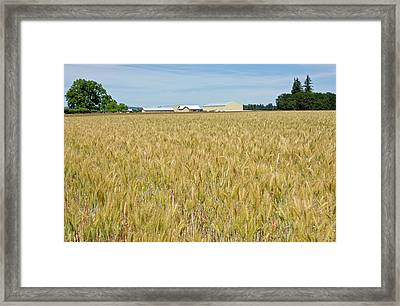 Wheat Field In The Willamette Valley Framed Print by Panoramic Images