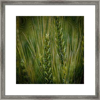 Wheat In The Palouse II Framed Print by David Patterson