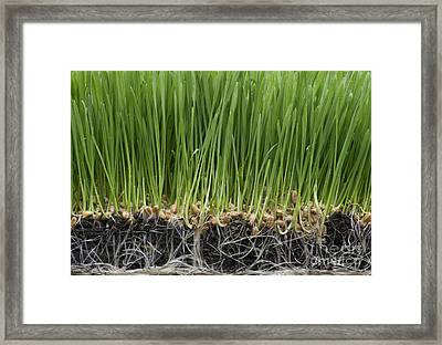 Wheatgrass Framed Print by Tim Gainey