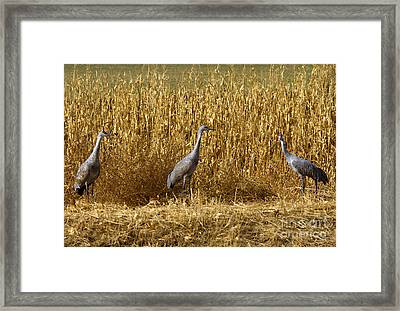 Where Is The Corn Framed Print by Mike  Dawson