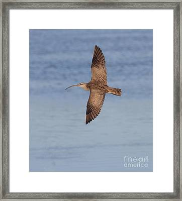 Whimbrel In Flight Framed Print by Ruth Jolly