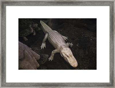White Alligator Framed Print by Garry Gay