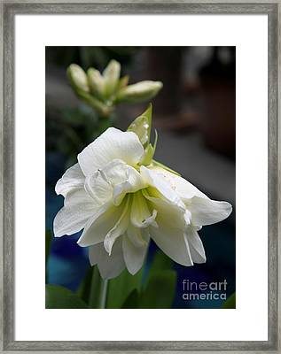 White Amarillys And Buds Framed Print by Christiane Schulze Art And Photography