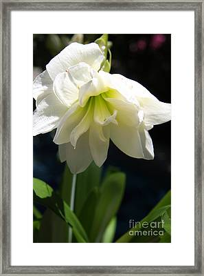 White Amarillys Framed Print by Christiane Schulze Art And Photography