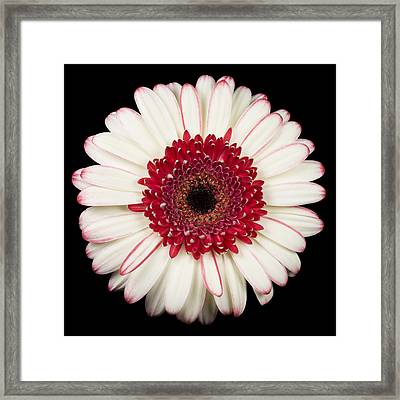 White And Red Gerbera Daisy Framed Print by Adam Romanowicz