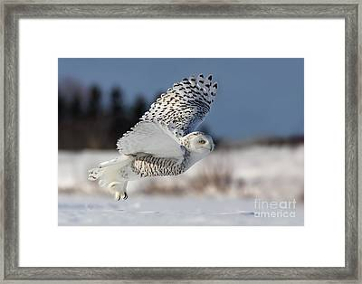 White Angel - Snowy Owl In Flight Framed Print by Mircea Costina Photography