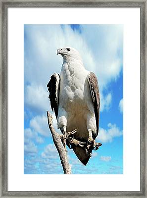 White-bellied Sea Eagle Framed Print by Bildagentur-online/mcphoto-schulz