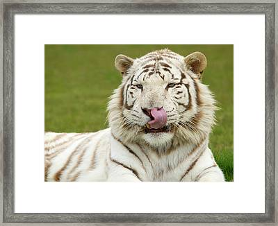 White Bengal Tiger Framed Print by Nigel Downer