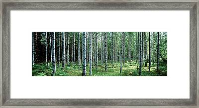 White Birches Aulanko National Park Framed Print by Panoramic Images