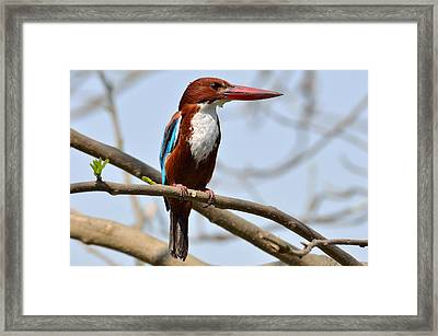 White Breasted Kingfisher Framed Print by Fotosas Photography