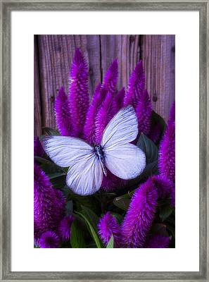 White Butterfly On Flowering Celosia Framed Print by Garry Gay