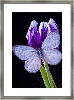 White Butterfly On Purple Tulip Framed Print by Garry Gay
