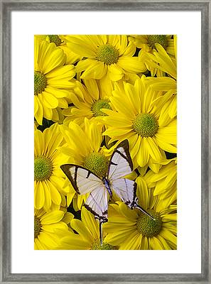 White Butterfly On Yellow Mums Framed Print by Garry Gay