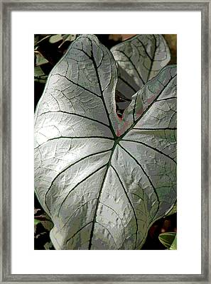 White Caladium Framed Print by Suzanne Gaff