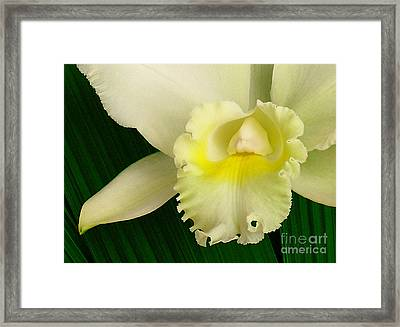 White Cattleya Orchid Framed Print by James Temple