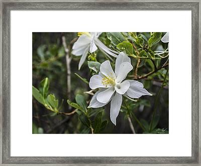 White Columbine Framed Print by Aaron Spong