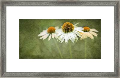 White Coneflower Trio  2 Framed Print by Rebecca Cozart