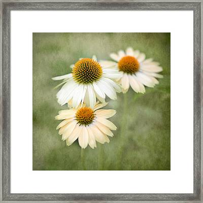 White Coneflower Trio Framed Print by Rebecca Cozart