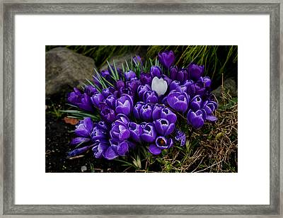 White Crocus On A Field Of Purple Framed Print by Ron Roberts