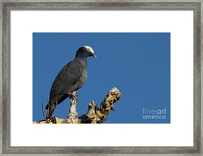 White-crowned Pigeon Framed Print by Meg Rousher