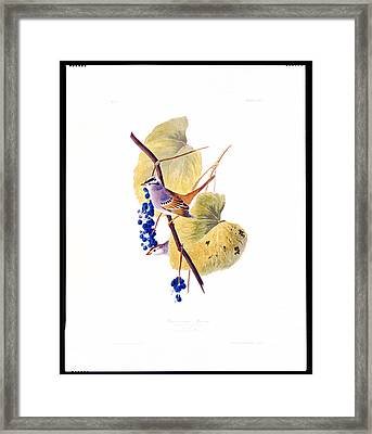 White Crowned Sparrow Framed Print by Celestial Images