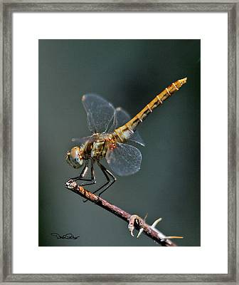 White-faced Meadowhawk Framed Print by David Salter